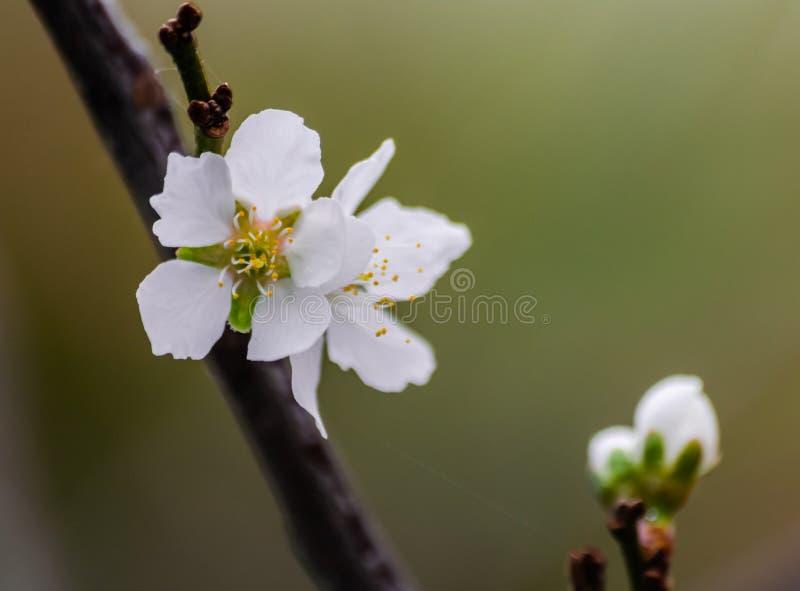 Plommonblomma, prunusdomestica som blommar fotografering för bildbyråer