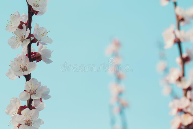 Plommonblomningar blommar beautifully p? en filial med suddig bakgrund fotografering för bildbyråer