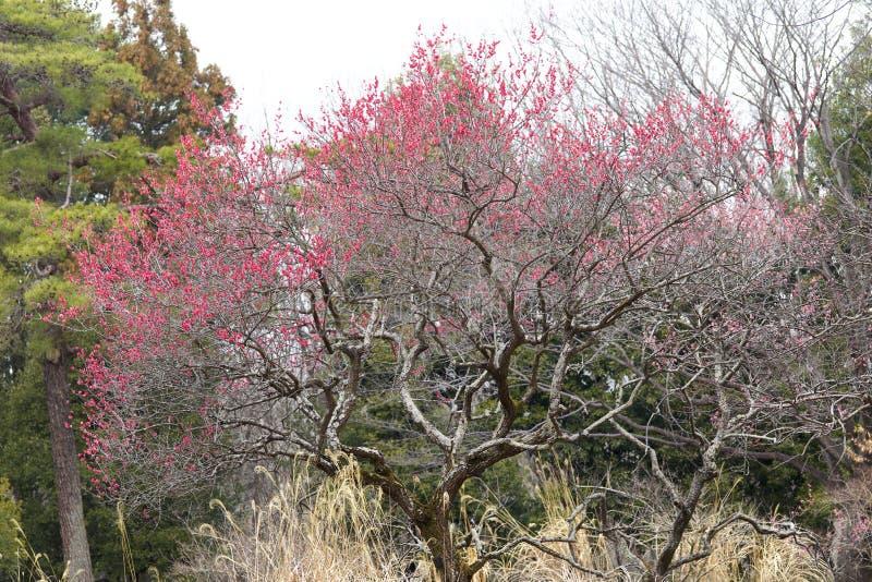 Plommonträd med röda blomningar fotografering för bildbyråer