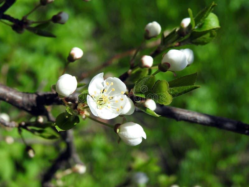 Plommonträdet blommar i våren, Litauen royaltyfria bilder