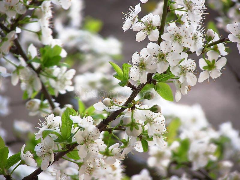 Plommonträdfilial i blomning royaltyfri fotografi