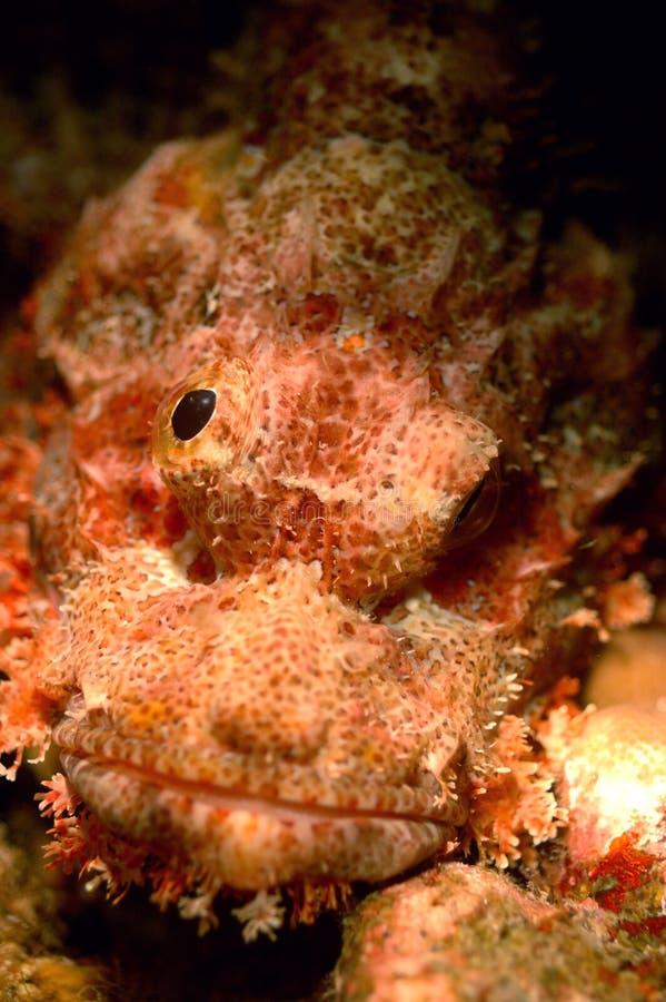 Plongée à l'air d'Aceh Indonésie de poissons de monstre photo libre de droits