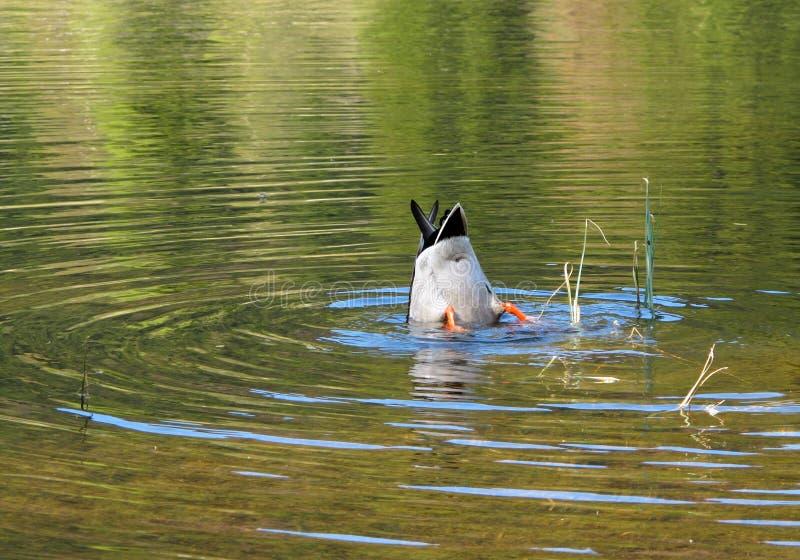 Plongée de canard dans le lac images stock