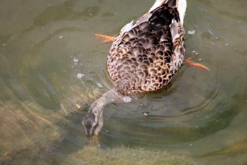 Plongée de canard pour la nourriture photos stock