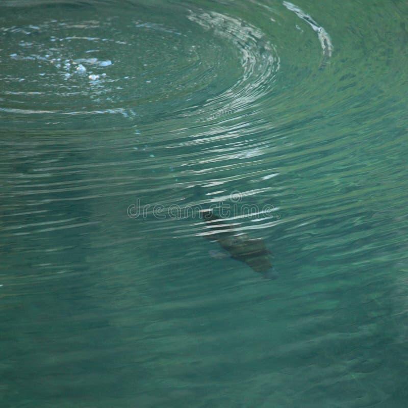 Download Plongée de Platypus image stock. Image du descendez, piqué - 27140191
