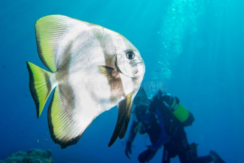 Plongée de portrait de poissons de batte en Maldives photo stock