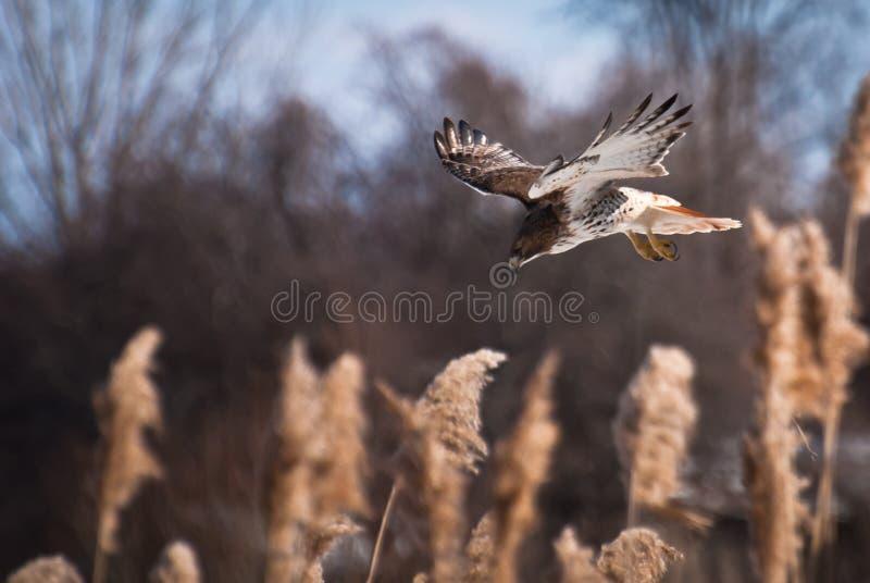 Plongée Rouge-Suivie de faucon sur la proie images libres de droits