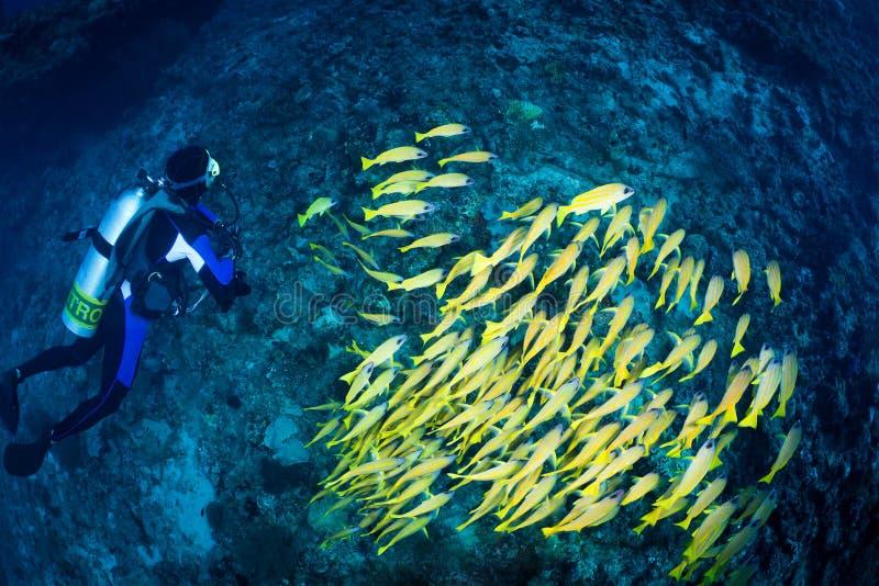 Plongeur et école des cordelettes rayées bleues, Maldives photographie stock libre de droits