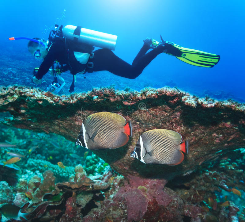 Plongeur et Angelfishes images stock