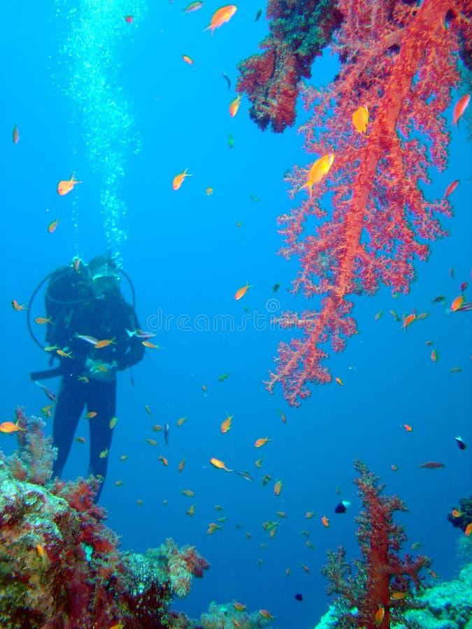 Plongeur et corail image stock