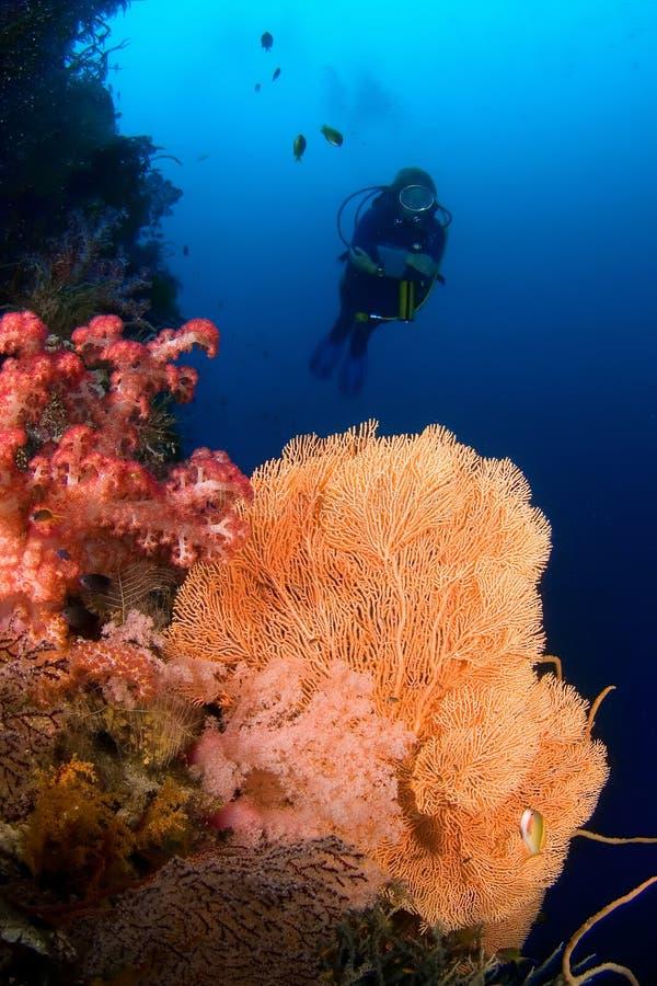 Plongeur et Gorgonia Indonésie de corail Sulawesi images stock