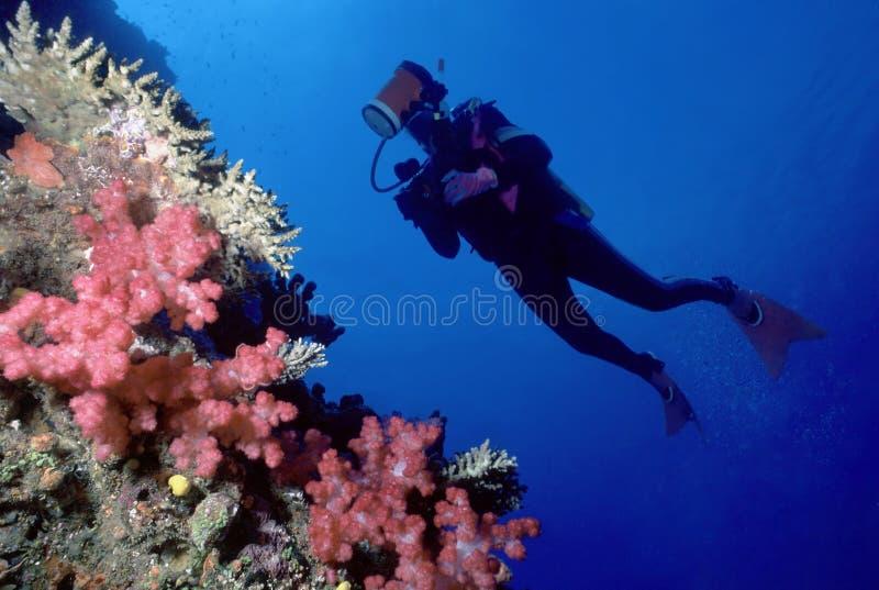 Plongeur et mur de corail mou image libre de droits