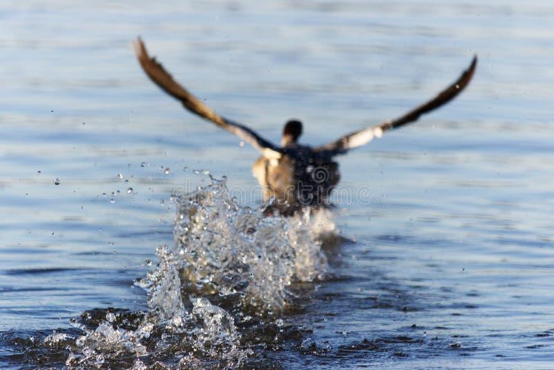 Plons van water achter eend het opstijgen royalty-vrije stock afbeelding