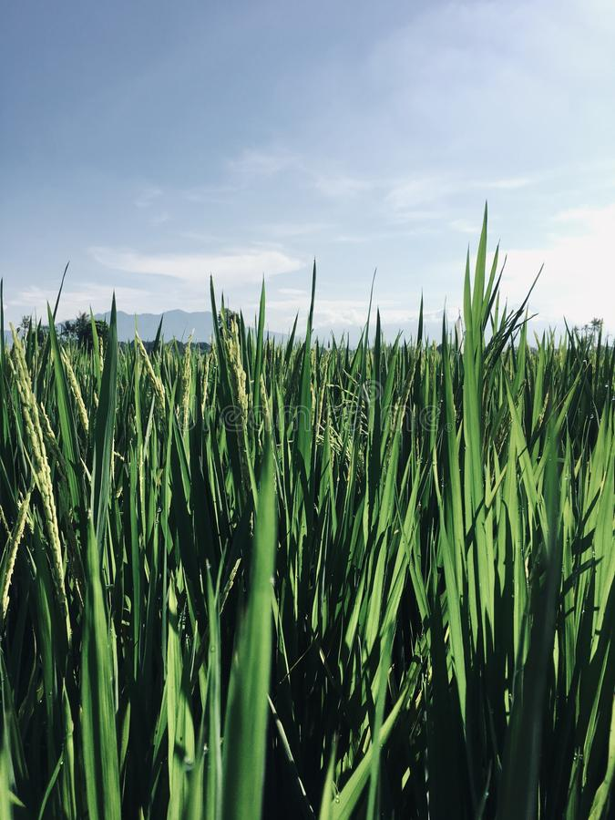 A plot of land with rice fields stock images
