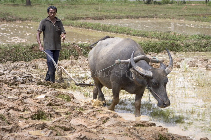Plough with water buffalo stock photos