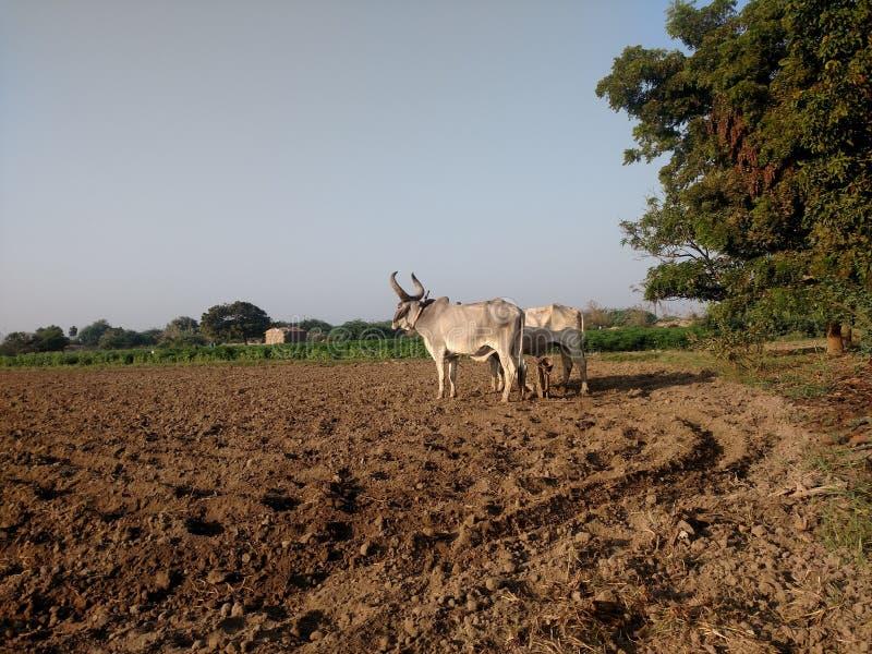 Ploughing com bois fotografia de stock royalty free