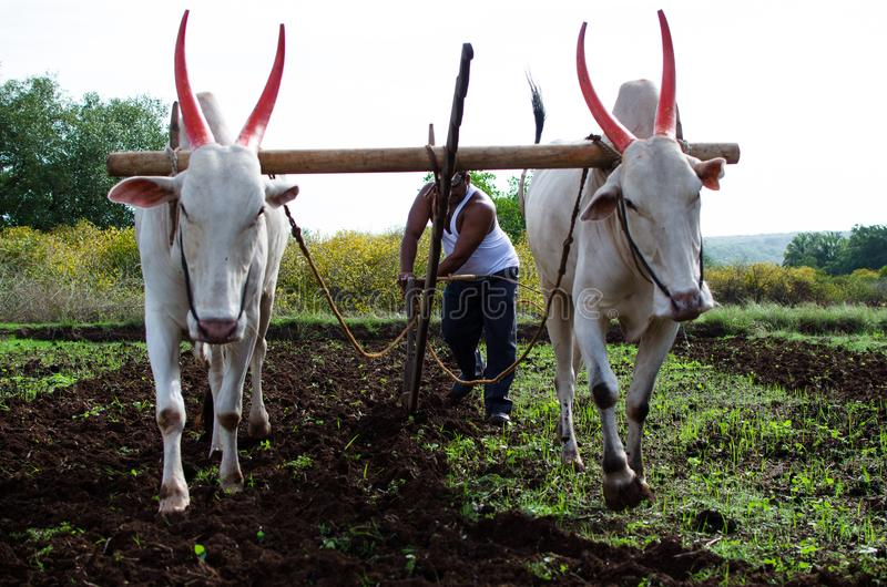 Farming and Ploughing field with oxen stock photo