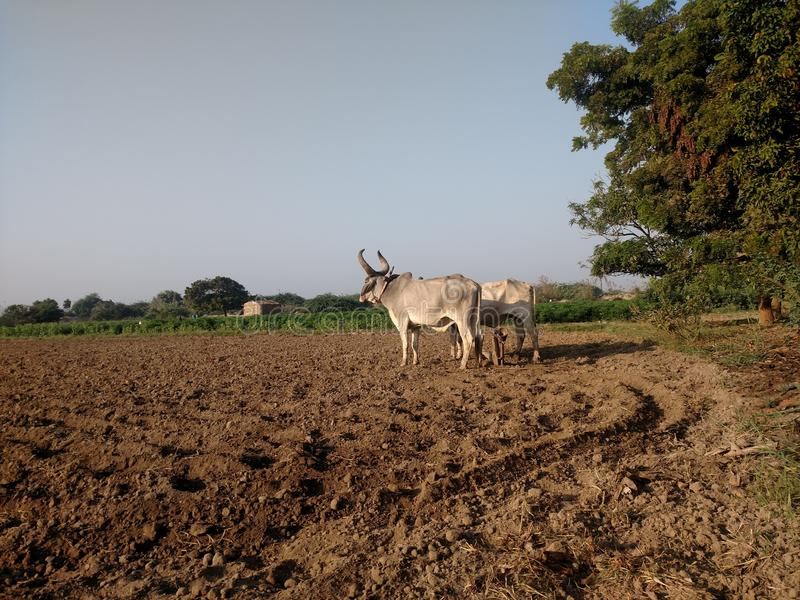 Ploughing with oxen. Ploughing with oxen like old time royalty free stock photography