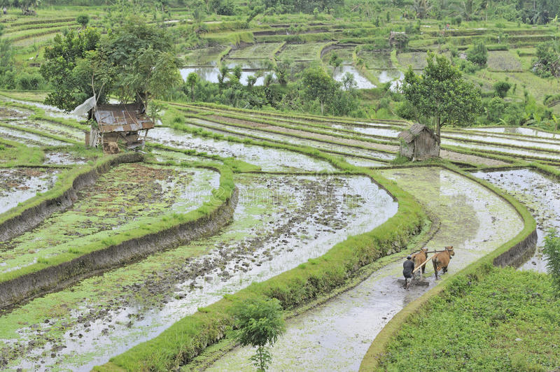 Ploughing rice fields. Man ploughing rice terraces at Tirtagangga, Bali, Indonesia stock images