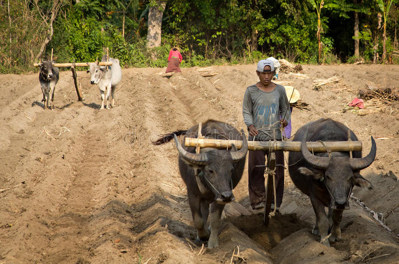 A plow pulled by buffalo in Burma (Myanmar). A young Burmese farmer is driving his buffalo to plow the field. At moment, the Burma agriculture is underdeveloped stock photo