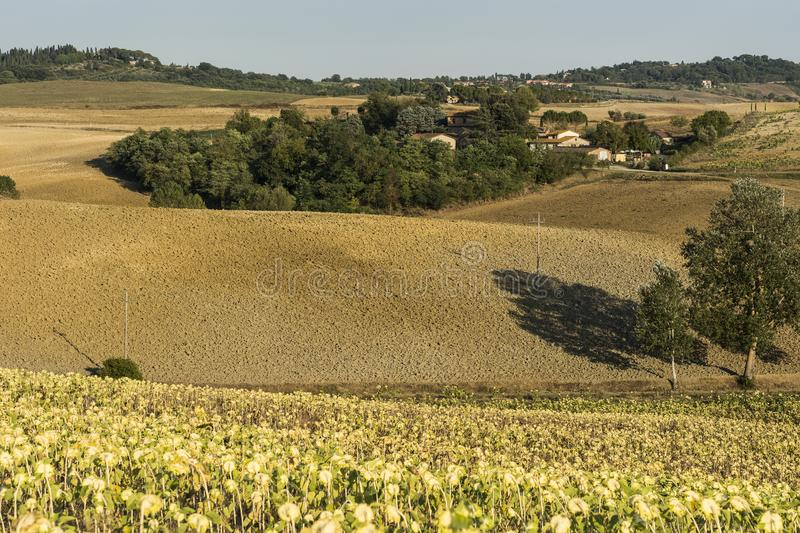 Plowed fields and sunflower plantation. Italian farm surrounded with plowed sloping hills and sunflower plantation inTuscany. Ripe sunflowers in the field with royalty free stock photos