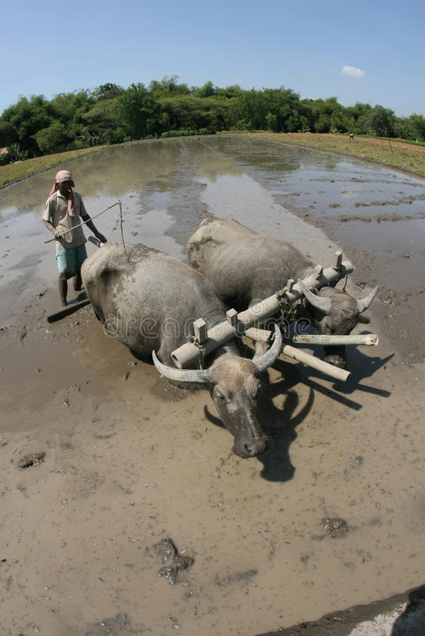 Download Plowing with buffalo editorial image. Image of plowing - 34410770