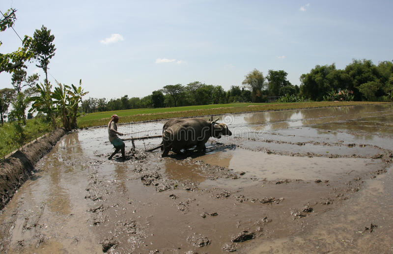 Plowing with buffalo