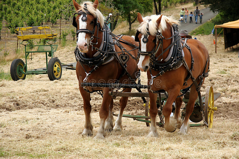 Plowing horses royalty free stock photo