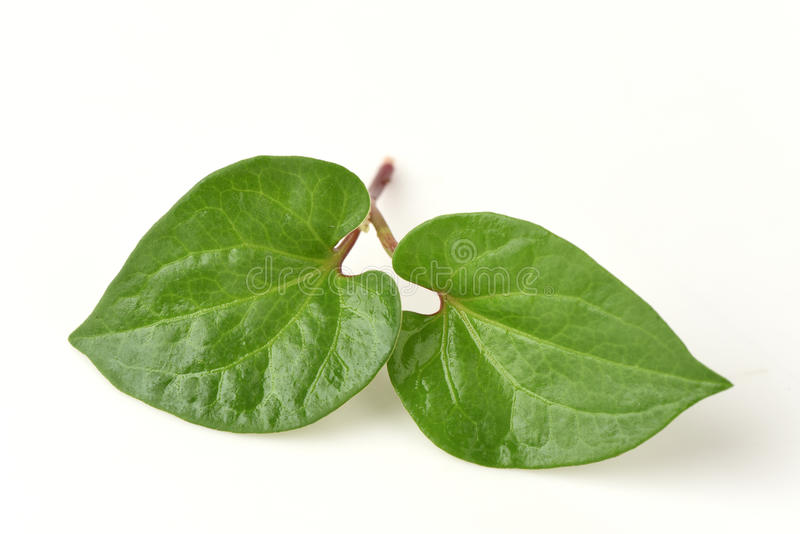 Plu Kaow red (thai name) (Houttuynia cordata Thunb.) Anti-cancer herbs. Plu Kaow red (thai name) (Houttuynia cordata Thunb.), Vegetables, plants, herbs with stock photo