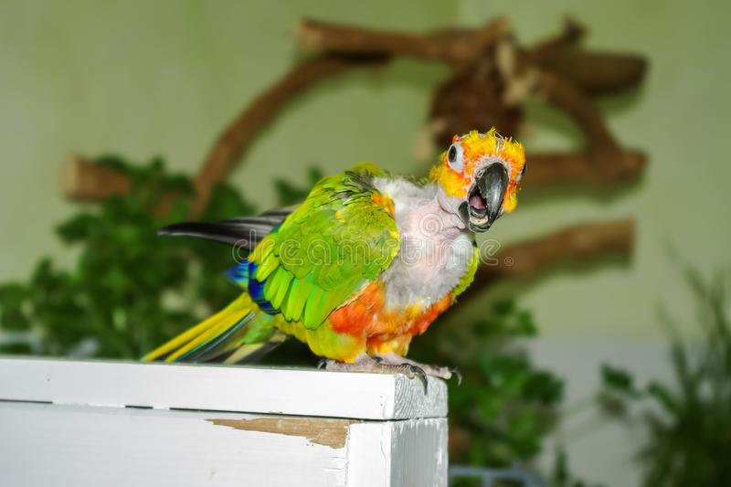Plucked parrot with beak open in mid call. Plucked parrot in mid call. Jenday Conure in a bird room with beak open and tongue visible while calling. The pet stock photography