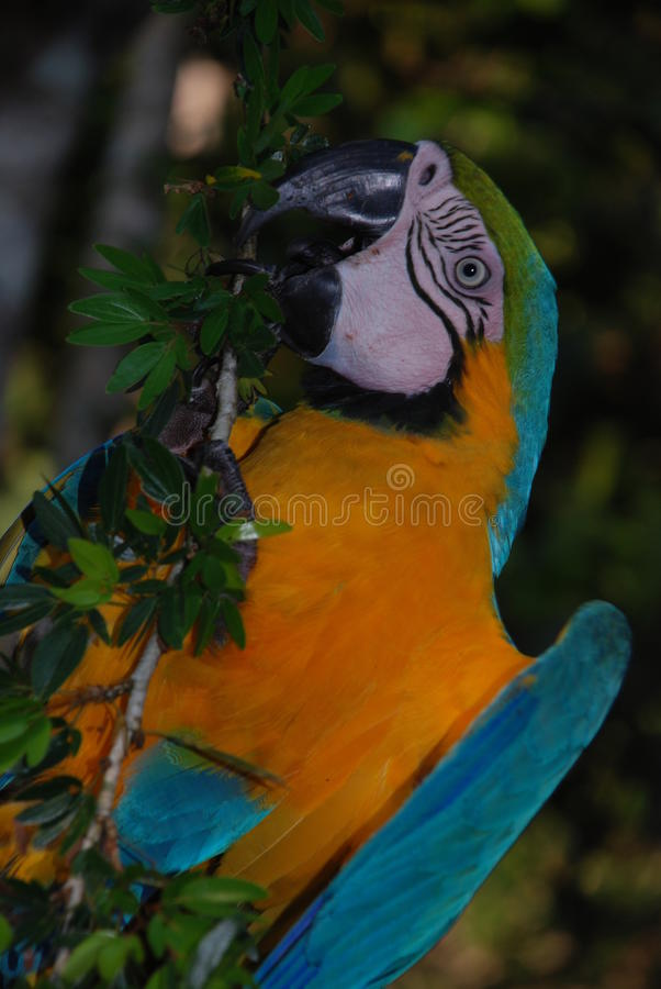 Pluie Forest Macaw d'Amazone photographie stock