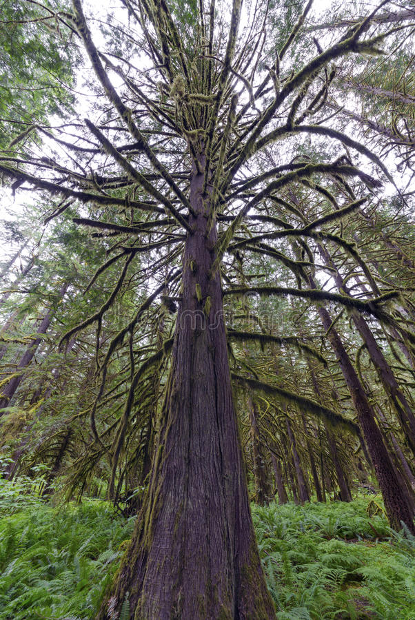 Pluie Forest Pacific North West images stock