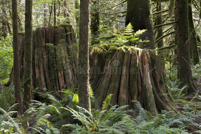 Pluie Forest Pacific North West photographie stock