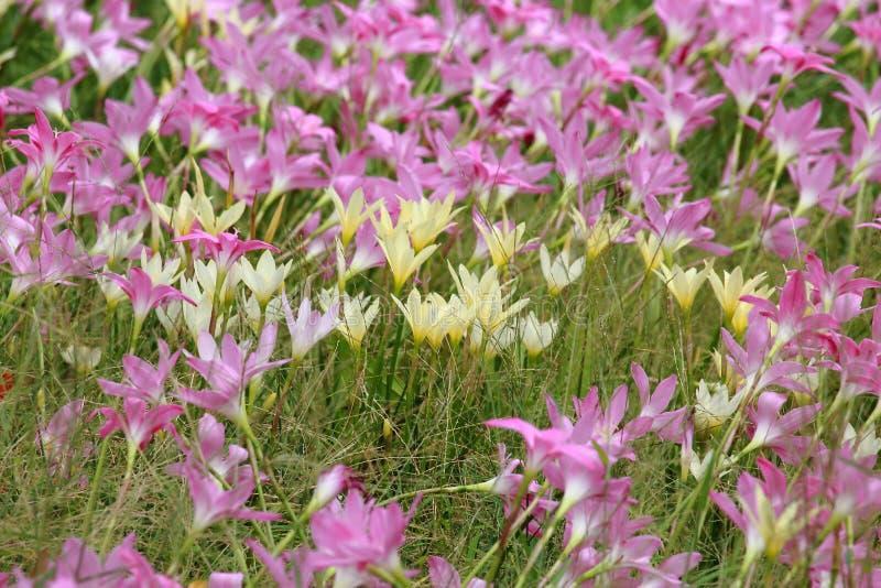 Pluie jaune et rose Lily Flower Blooming Through le champ photographie stock libre de droits