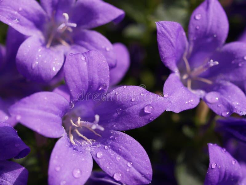 Pluie pourprée photo stock