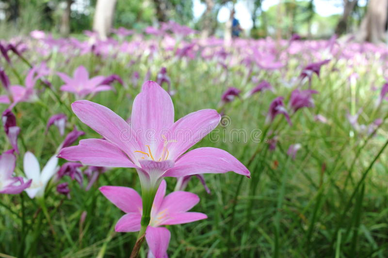 Pluie rose Lily Flower Blooming Through le champ photos stock