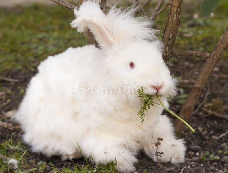 Pluizig angora konijn die kruiden op gras eten royalty-vrije stock fotografie