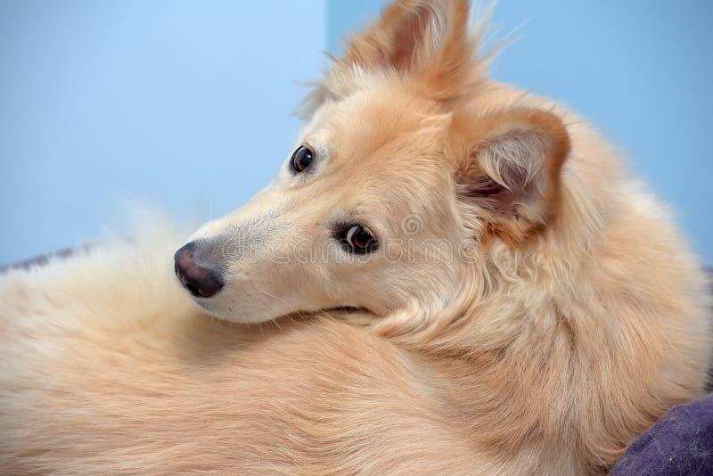 Pluizig hond helft-ras die rond het kijken draaien stock foto