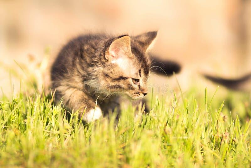 pluizig katje die in gras lopen royalty-vrije stock foto's