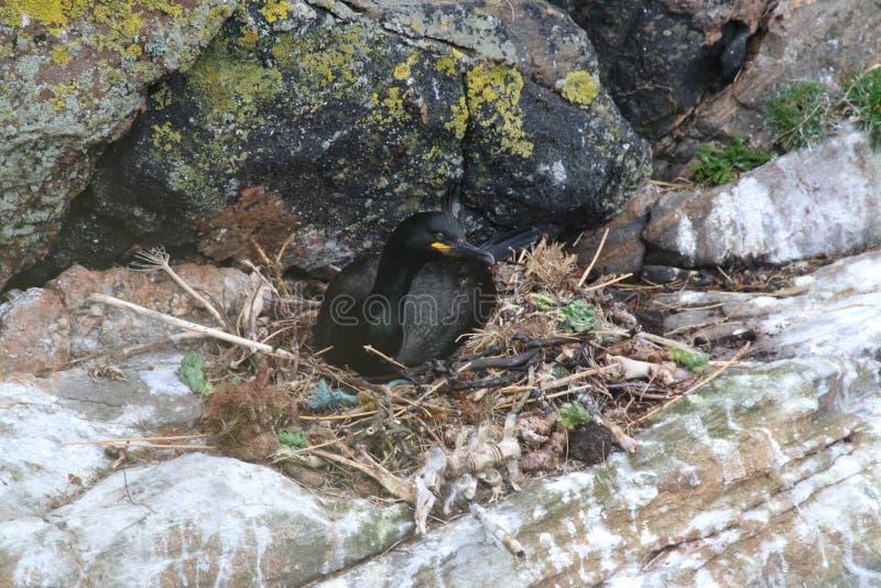 Pluizig laken op nest (Phalacrocorax Aristotelis) royalty-vrije stock afbeelding
