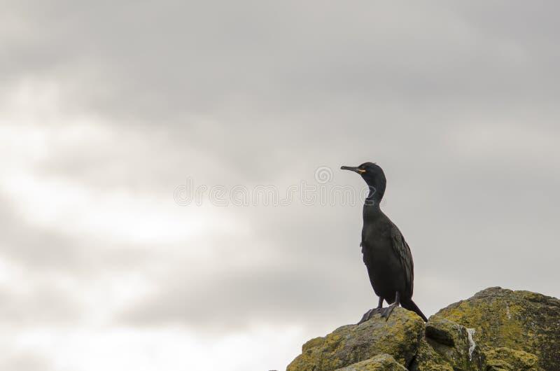 Pluizig laken, Zeevogel op een Rots stock afbeelding