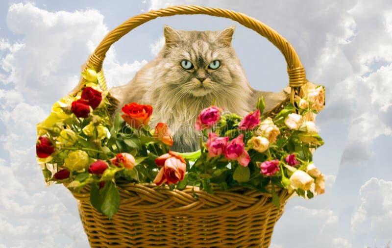 Pluizig mooi zilveren katten Schots ras in een rieten mand royalty-vrije stock fotografie