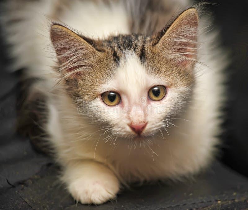 Pluizig wit met grijs katje op een donkere achtergrond stock fotografie
