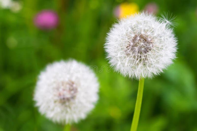 Pluizige blowball (klok) van Paardebloembloem tijdens de zomer in Aus royalty-vrije stock foto's