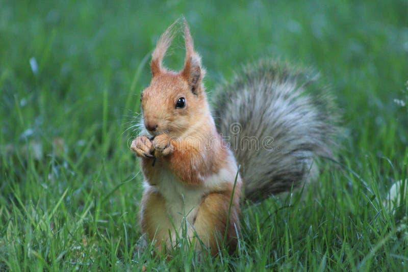 Pluizige eekhoorn in het park royalty-vrije stock afbeeldingen