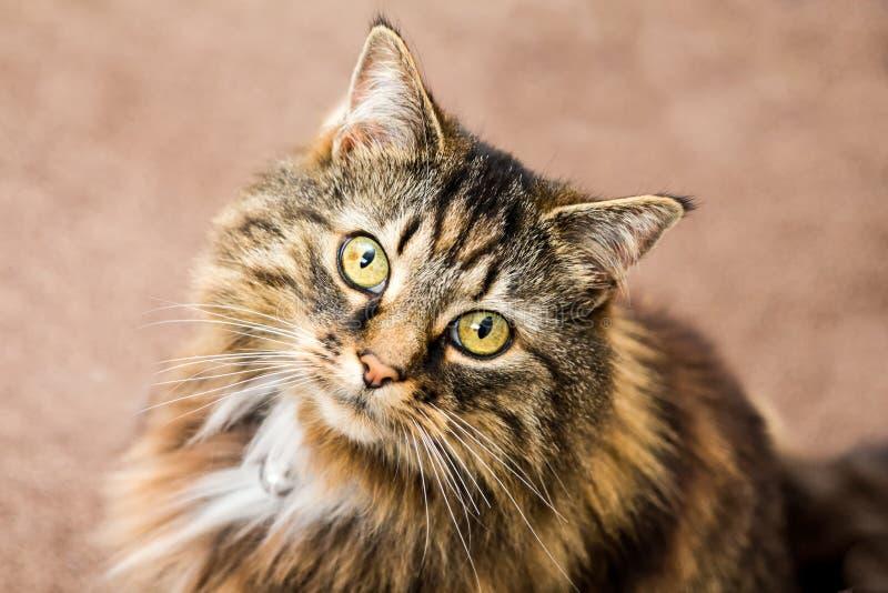 Pluizige gestreepte katkat stock afbeelding