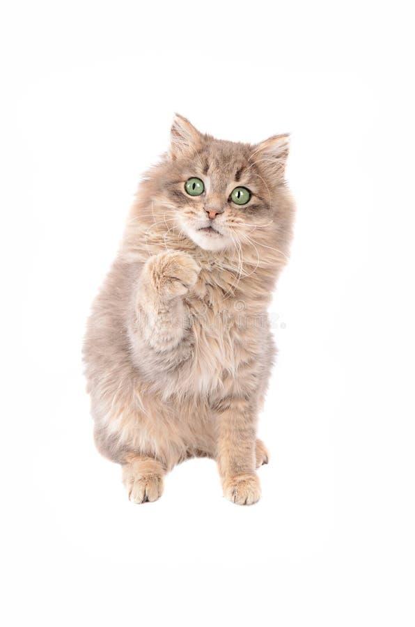 Pluizige Grey Kitten met Opgeheven Poot royalty-vrije stock afbeeldingen