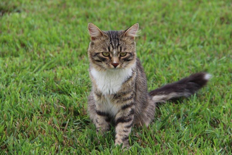 Pluizige grijze gestreepte kat in het gras stock afbeelding