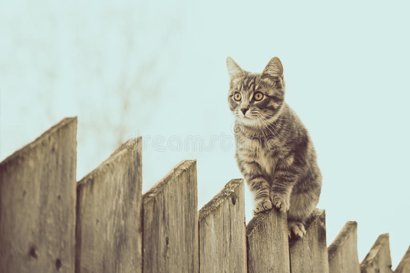 Pluizige grijze kat die op een oude houten omheining lopen stock foto