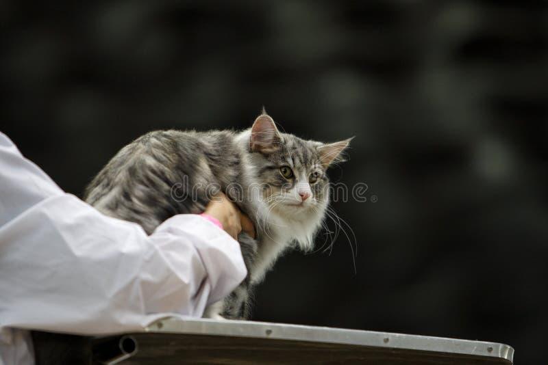 Pluizige grijze kat tijdens een tentoonstelling stock afbeelding